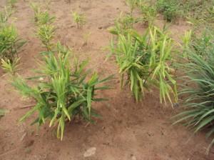 Plants de gingembre.