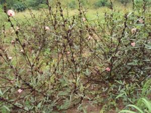Plants de bissap.