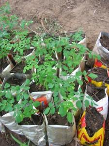 Jeunes plants de moringa.