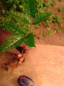 Plant et fruit de safou