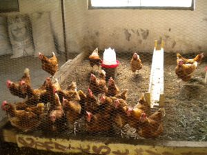 Elevage de poules à Loukanga (2014)